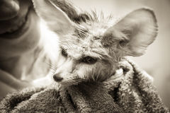 Funny disheveled puppy fennec fox with his smiling owner on background Royalty Free Stock Image