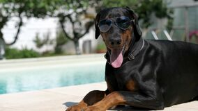 Funny doberman sunbathing at the pool