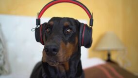 Funny dobermann listening to music