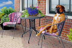 Funny dog. Funny aristocratic looking dog on a terrace chair royalty free stock photography