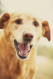 Funny dog. Golden retriever dog smiling and looking into camera making funny happy face Stock Image