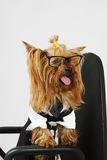 Funny dog. Small funny dog studio shot with spectacles sitting on chair Stock Images