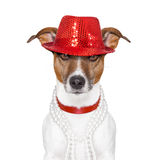 Funny dog. Funny and crazy looking dog with fancy red hat and big perls collar