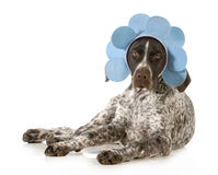 Funny dog. German shorthair pointer wearing blue flower headband isolated on white background Stock Photo