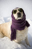 Funny dog. With shawl and sunglasses Royalty Free Stock Photography
