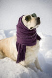 Funny dog. With shawl and sunglasses Royalty Free Stock Images