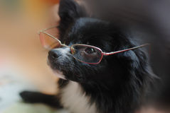 Funny dog. Dog with glasses reading newspaper and watching somewhere Royalty Free Stock Photo