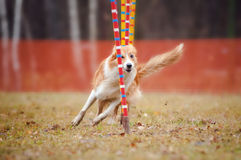 Funny dog in agility. Funny dog border collie running competitions of agility stock photography