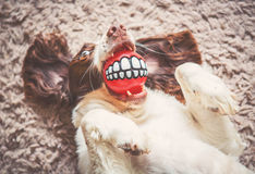 Funny dog. With ball in mouth Stock Photography