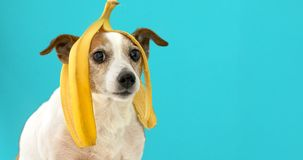 Funny dog with banana peel on his head portrait. Funny Jack Russell Terrier dog with banana peel on its head looking at camera on a blue background royalty free stock images