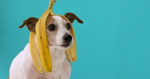 Funny dog with banana peel on his head portrait. Funny Jack Russell Terrier dog with banana peel on its head on a blue background stock video footage