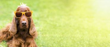 Funny dog banner. Funny dog with sunglasses - web banner idea Stock Photo
