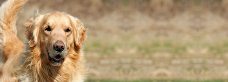 Funny dog banner. Web banner of a funny golden retriever dog as smiling royalty free stock photography