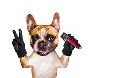Funny dog barber ginger french bulldog keep the hair clipper. Man isolated on white background. Funny dog barber ginger french bulldog keep hair clipper. Man stock image