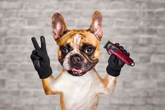 Funny dog barber ginger french bulldog keep the hair clipper. Man on white brick wall background. Funny dog barber ginger french bulldog keep the hair clipper royalty free stock photos