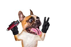 Funny dog barber groomer ginger french bulldog hold clipper. Man isolated on white background. Funny dog barber groomer ginger french bulldog hold clipper. Man royalty free stock photography