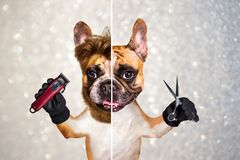 Funny dog barber groomer ginger french bulldog hold scissors and clipper. Man on gray sparkles background. Funny dog barber groomer ginger french bulldog hold royalty free stock photography