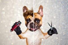 Funny dog barber groomer ginger french bulldog hold scissors and clipper. Man on gray sparkles background. Funny dog barber groomer ginger french bulldog hold stock photo