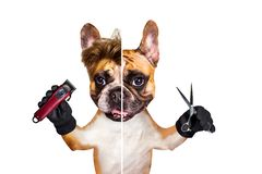 Funny dog barber groomer ginger french bulldog hold scissors and clipper. Man isolated on white background. Funny dog barber groomer ginger french bulldog hold stock photography