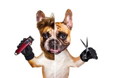 Funny dog barber groomer ginger french bulldog hold scissors and clipper. Man isolated on white background. Funny dog barber groomer ginger french bulldog hold stock image
