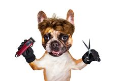 Funny dog barber groomer ginger french bulldog hold scissors and clipper. Man isolated on white background. Funny dog barber groomer ginger french bulldog hold royalty free stock images