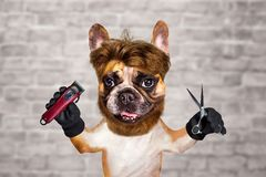 Funny dog barber groomer ginger french bulldog hold scissors and clipper. Man on white brick wall background. Funny dog barber groomer ginger french bulldog hold royalty free stock photos