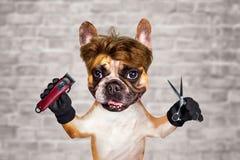 Funny dog barber groomer ginger french bulldog hold scissors and clipper. Man on white brick wall background. Funny dog barber groomer ginger french bulldog hold stock images