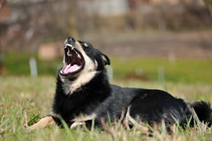 Funny dog with bared teeth Stock Images
