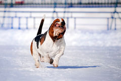 Funny dog basset hound. Running in winter stock images