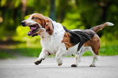 Funny dog Basset hound running Stock Photos