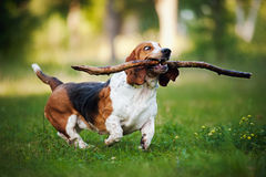 Funny dog Basset hound running with stick Royalty Free Stock Image