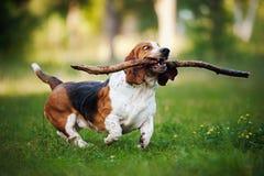 Funny dog Basset hound running with stick Royalty Free Stock Image