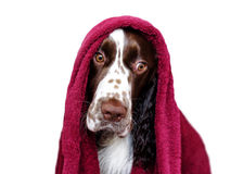 Funny dog after bathing isolated on white. Spaniel in towel Stock Photos