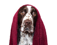 Funny dog after bathing isolated on white. Spaniel in towel Stock Images