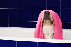 FUNNY DOG BATHING. LABRADOR RETRIEVER COVERED AND WRAPPED WITH A PINK TOWEL ON A BLUE BATHTUB.  stock image