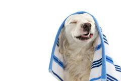 FUNNY DOG BATHING. MIXED-BREED PUPPY WRAPPED WITH A BLUE COLORED TOWEL. MAKING A FACE. ISOLATED STUDIO SHOT AGAINST WHITE. BACKGROUND royalty free stock photos