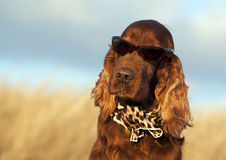 Funny dog. With sunglasses and scarf stock images