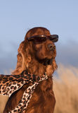 Funny dog. Funny Irish Setter dog with sunglasses and scarf stock image