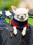 Funny dog in a bicycle basket Royalty Free Stock Image