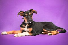 Funny dog with big ears lying on purple Royalty Free Stock Photos