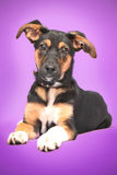 Funny dog with big ears sitting on purple Royalty Free Stock Images