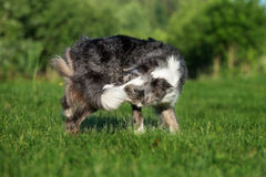 Funny dog biting his tail. Adorable border collie dog outdoors in summer Stock Images