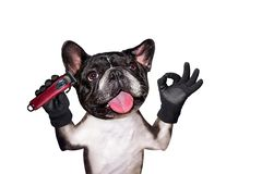 Funny dog black barber groomer french bulldog hold clipper. Man isolated on white background. Funny dog black barber groomer french bulldog hold clipper. Man royalty free stock photo