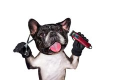 Funny dog black barber groomer french bulldog hold clipper and scissors. Man isolated on white background. Funny dog black barber groomer french bulldog hold royalty free stock image