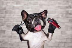 Funny dog black barber groomer french bulldog hold clipper and scissors. Man on white brick wall background. Funny dog black barber groomer french bulldog hold stock photos