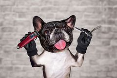 Funny dog black barber groomer french bulldog hold straight razor and clipper. Man on white brick wall background. Funny dog black barber groomer french bulldog stock photos