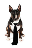 Funny dog in a black tie Stock Photo
