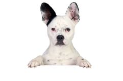 Funny dog black and white. On white poster Royalty Free Stock Images