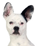 Funny dog black and white with big ears Stock Photos