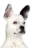 Funny dog black and white with big ears Royalty Free Stock Photos